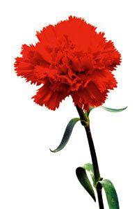 Flor Cravo, representação da revolução dos cravos