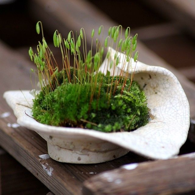 Shitakusa moss, accent plant