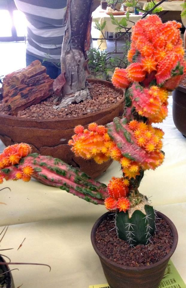 Amazing grafted cactus10-20 years old