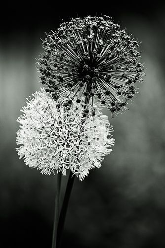 Black and White Dandelions. Take black and white photos of herbs, make the stylistic?