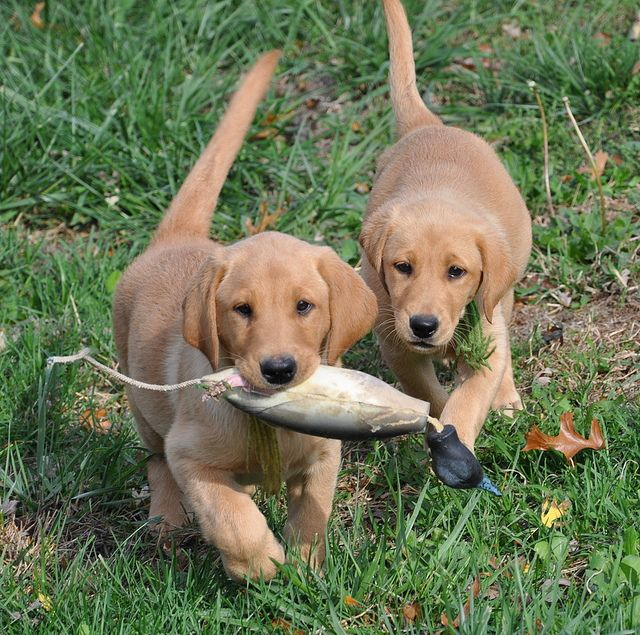 Red Moon Yellow Labrador Puppies - what a pretty color!