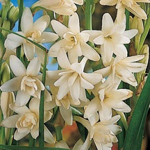 Tuberose have a sweet scent that attracts butterflies. Shown here Tuberose 'Double Pearl'