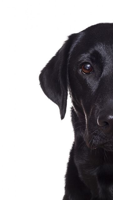 .Black labs are notorious for being hard to photograph. Looks just like my boy - Barney.