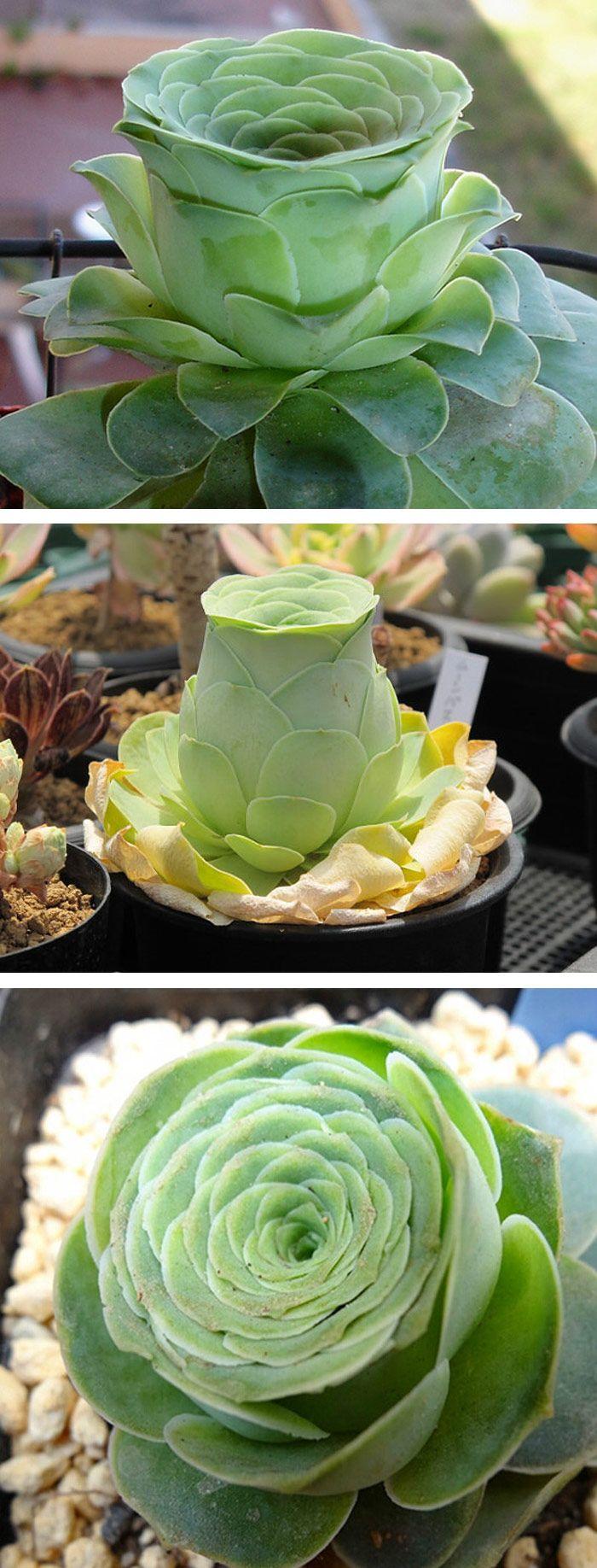 Greenovia Aeonium, succulente originaire des Canaries