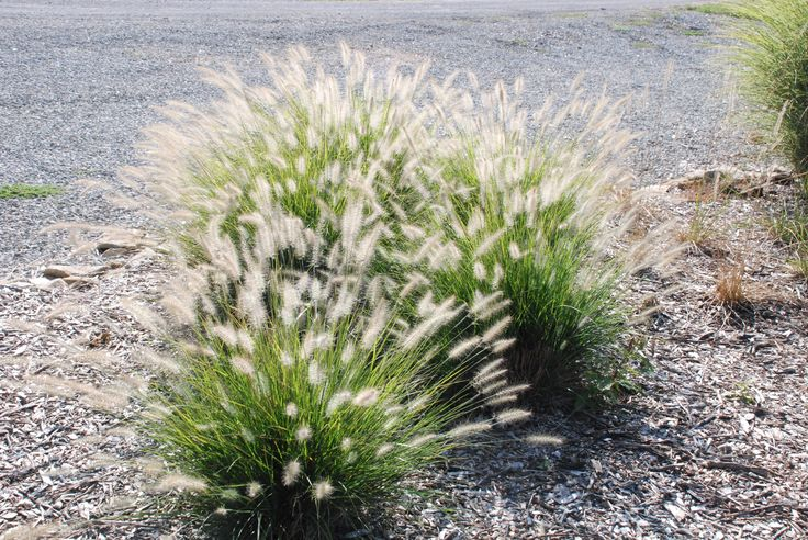 A smaller variety of fountain grass pennisetum for Fountain grass varieties