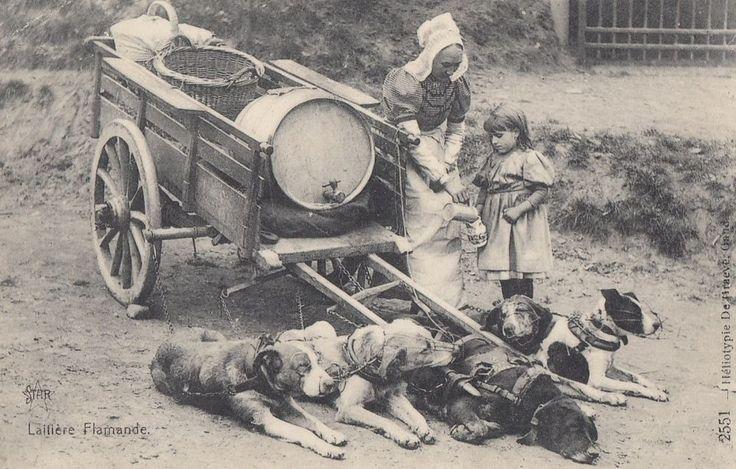 DOG:  Belgian Dog Milk Cart-Laitiere Flamande -DEHRAEVE