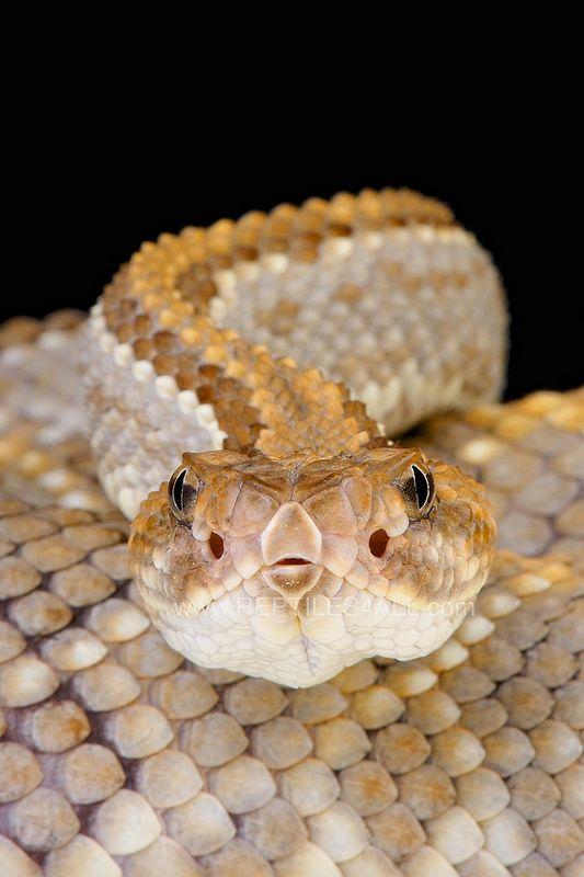 ˚Aruba rattlesnake - (Crotalus durissus unicolor)