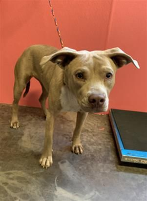 Thank You For Helping This Dog Find A New Home Pit Bull Terrier