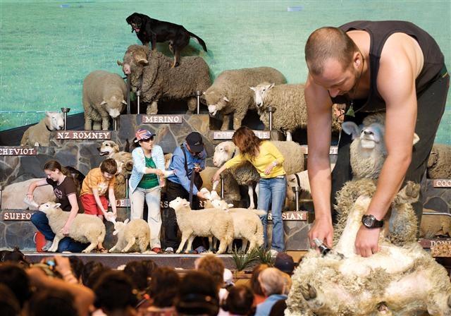 Rotorua's favourite sheep show -  Agrodome