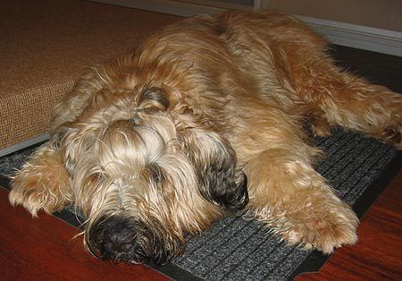 1000+ images about Briard on Pinterest | Sheep dogs, Image ...