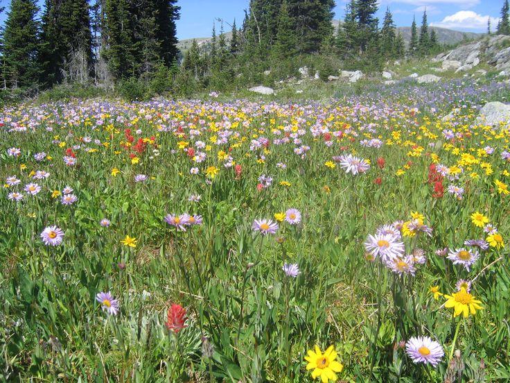 wildflowersWild Flower, Mountain Wildflowers, Wildflowers British