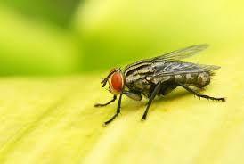 Répulsifs mouches faits maison