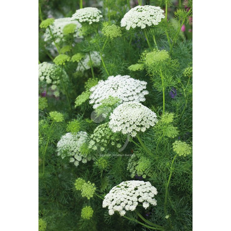 best garden plants. Ammi Visnaga Best Garden Plants