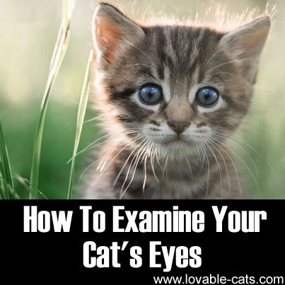 How To Examine Your Cat's Eyes►►http://lovable-cats.com/how-to-examine-your-cats-eyes/?i=p