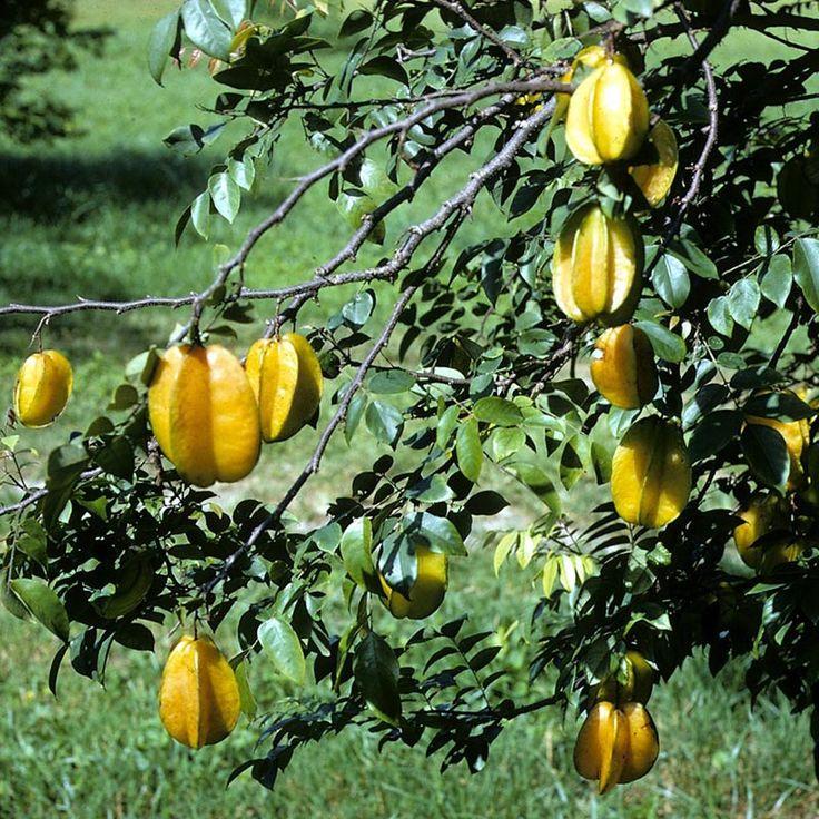 A caramboleira é uma arvoreta ornamental e frutífera, que dá origem a carambola, uma fruta tropical de aparência e sabor exótico, muito apreciada no mundo todo. Ela apresenta folhas imparipinadas, com grandes folíolos ovalados e acuminados, de coloração verde brilhante. As inflorescências, axilares e em rácemo, são muito decorativas e apresentam pequenas flores variegadas e róseas. Os frutos comestíveis são muito brilhantes e de coloração esverdeada, tornando-se amarelos quando maduros. Ao…