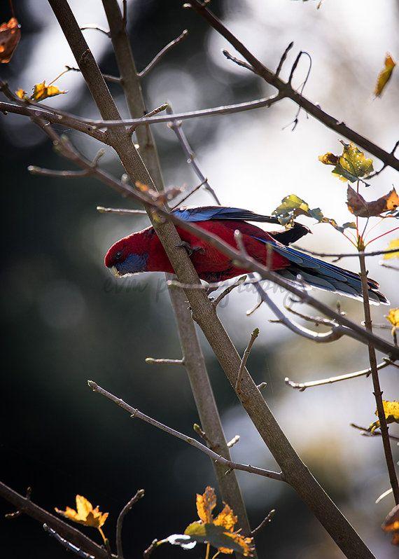 Crimson Rosella, Australia, Melbourne, Wildlife, Bird, Parrot, Photography…
