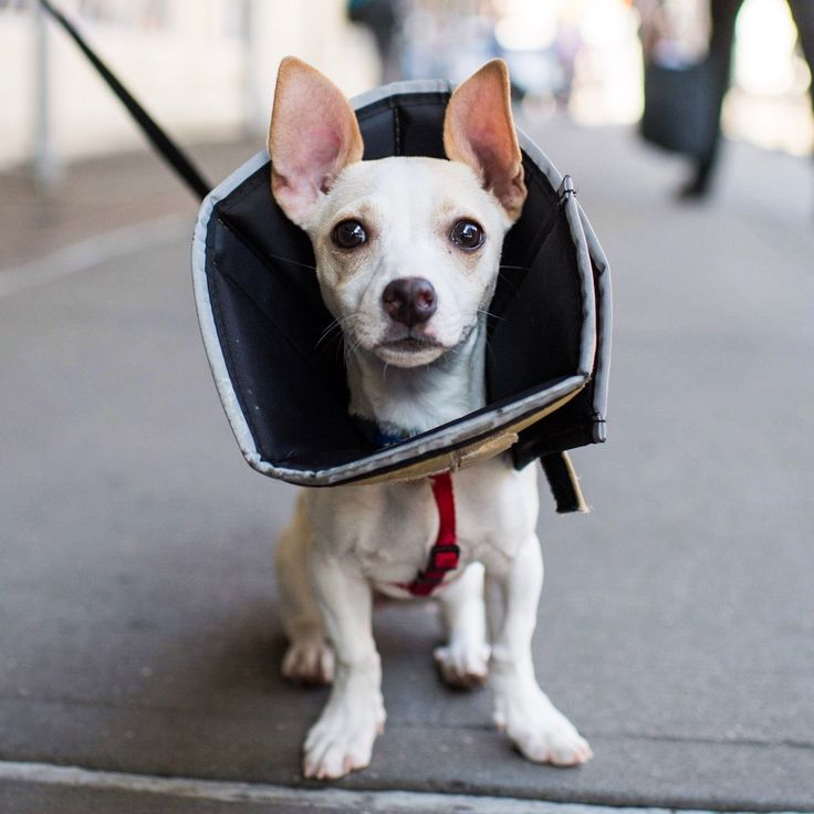 "Penny, Chihuahua/Terrier mix (4 m/o), Bleecker & Lafayette St., New York, NY • ""Recently spayed. She's part Chihuahua, part circus act. She'll take a running leap into even the most unsuspecting lap.""..."