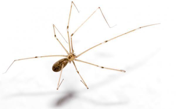 Araña Reclusa Parda #ExpertoAnimal #MundoAnimal #ReinoAnimal #Animales #Naturaleza #AnimalesPeligrosos #AnimalesVenenosos #AnimalesMortíferos #Insectos #ArañaReclusaParda