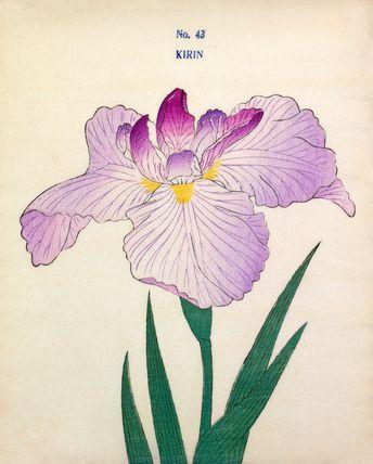Yokohama Nursery -- Iris Kirin -- Iris -- View By Flower -- RHS Prints