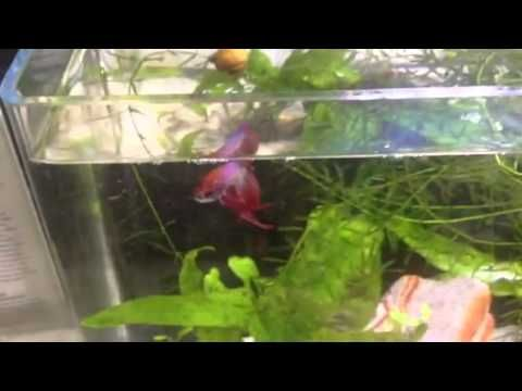 Fighting fish tanks