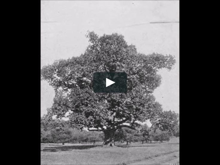 The American Chestnut Tree is a magnificent tree that produces sweet, tender chestnuts. The American Chestnut tree was used to make stunning furniture. The American…