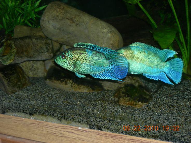 jack dempsey fish   Electric Blue Jack Dempsey For Sale ...