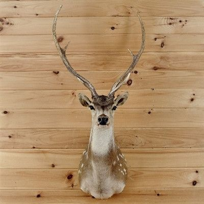 Axis Deer Taxidermy for Sale - SW2393