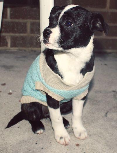 Bossie (Boston Terrier x Australian Shepherd)