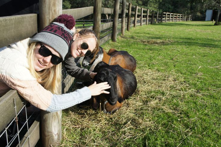 Making friends with goats at the Collingwood Children's Farm, Melbourne. @YoungDumbAndFun