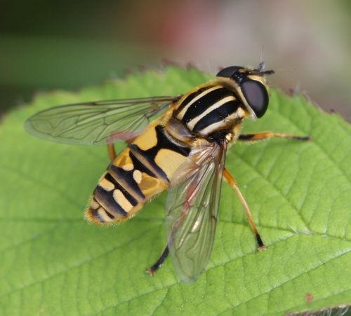 Hoverfly's