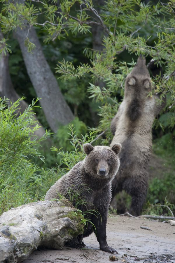 17 best images about wildlife of russia and siberia on
