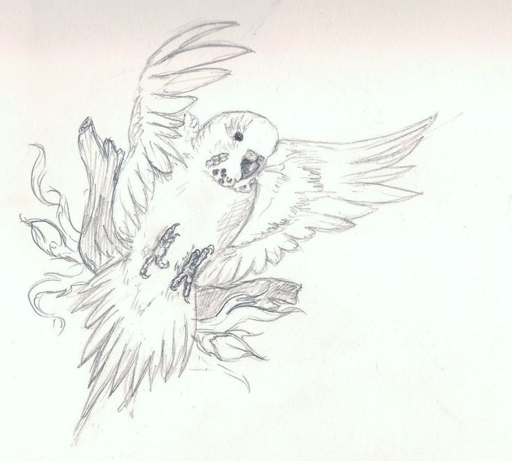 very basic budgie drawing