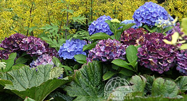 Hydrangea tips on how to prune and care for hydrangeas this is why you need a backyard - Care potted hydrangea ...