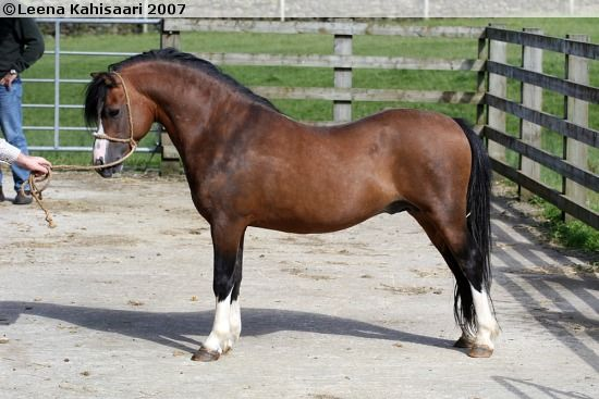 Welsh Mountain Pony (section A) - stallion Waitwith Drum Beat