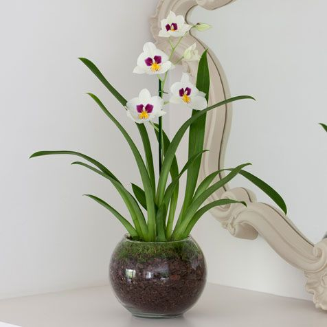 Miltonia Orchid, A stunning white miltonia orchid, planted in a glass bowl with orchid bark and moss. #nextflowers