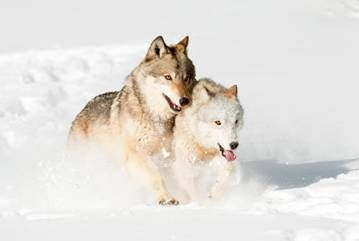Yellowstone's Winter Wildlife: A Photographic Holiday with Chris Weston, 22nd – 29th January 2013 | Nikon Owner Magazine