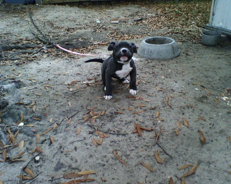 Blue Pitbull Puppies | PitBull Puppies For Sale,Pictures Of PitBulls,Blue Nose PitBULL ...