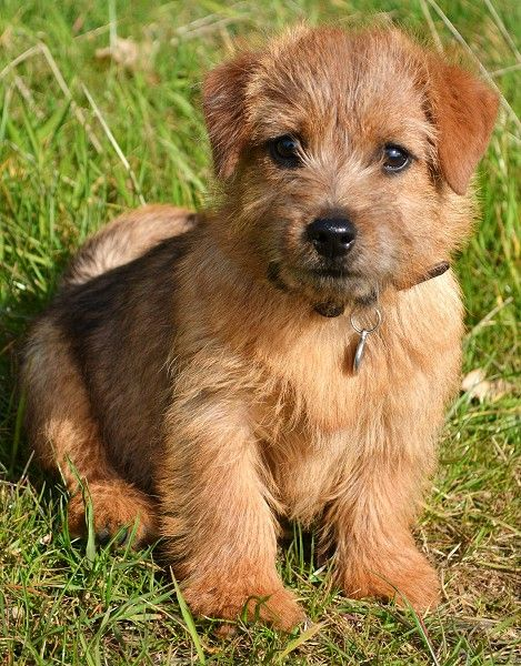 Toosey Norfolk Terrier