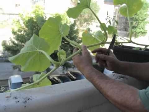 Cómo cultivar calabaza en el balcón//Balcón comestible//LlevamealhuertoTv - YouTube