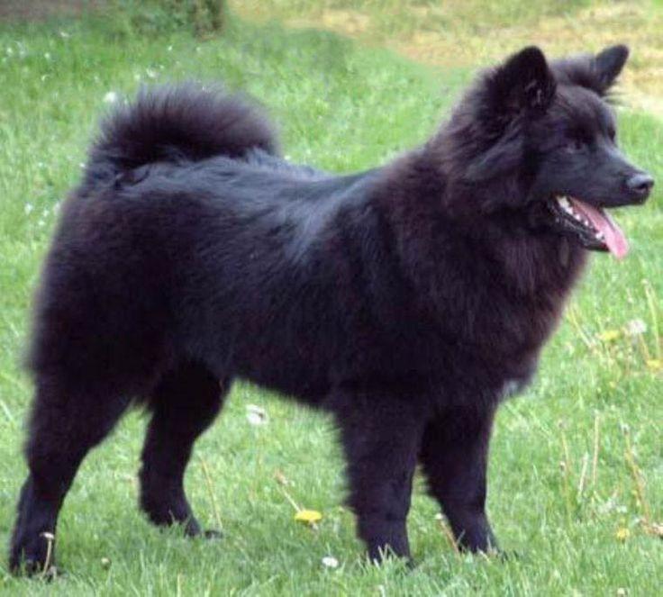 Фото лаппунда Шведского - породы скотогонных и охранных собак. Фото породы собак лаппхунда.