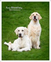 Фотогалерея - Gold Kiss Lady Luck питомник щенки золотистого ретривера