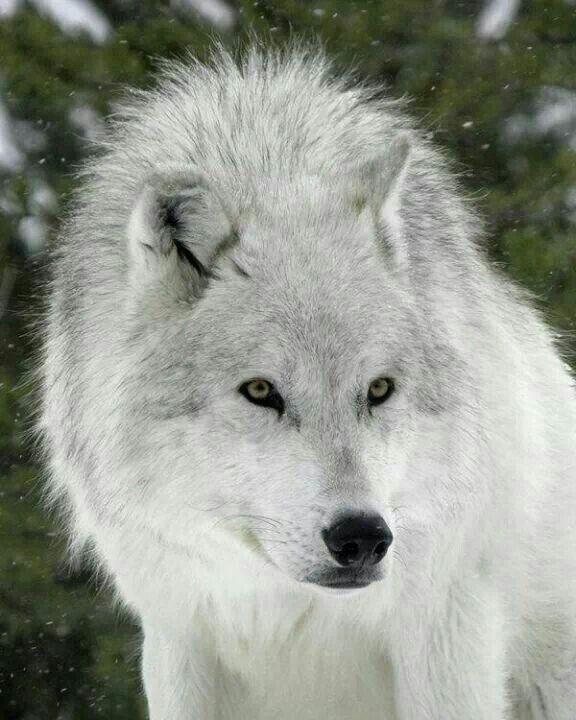 Der Lachelnde Wolf Bilder Tier Wolf Wolf Hunde Grauer Wolf