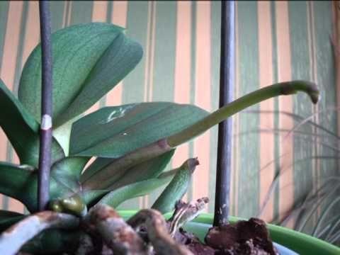 Как растет цветонос у орхидеи - YouTube