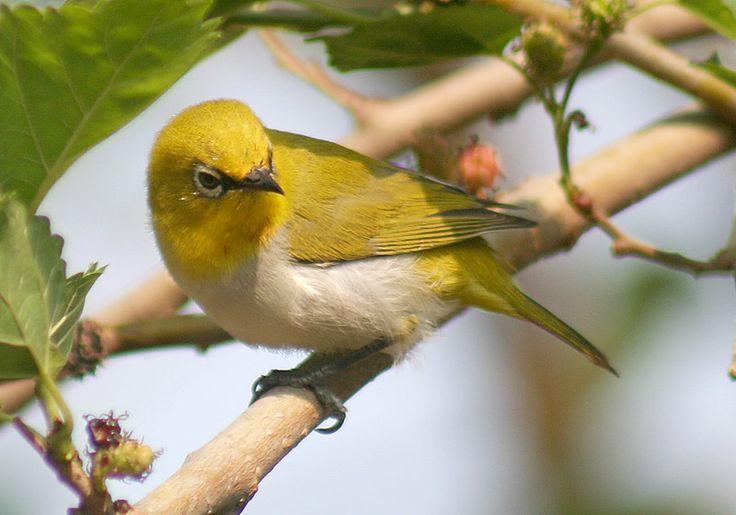 Gambar Burung Pleci
