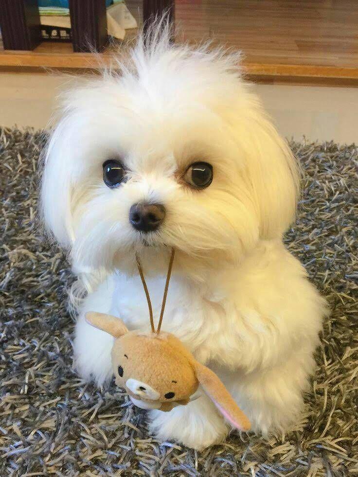 Maltese Puppy Maltese Cute Puppies Cute Animals Maltese Dogs