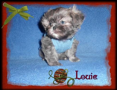 Gorgeous Rare True Blue AKC Shih Tzu Puppy Up For Adoption ...