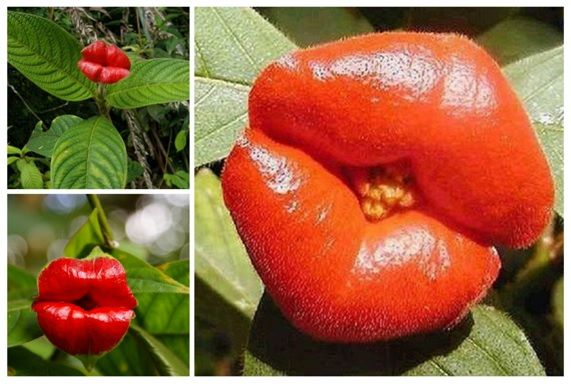 En peligro de extinción la Flor del beso (Psychotria elata) planta silvestre de…