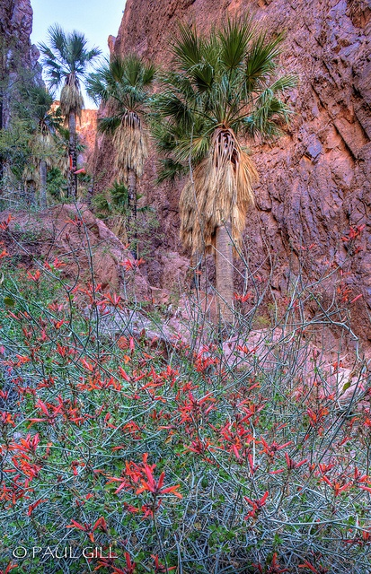 Palm Canyon, Kofa Mtns, Arizona