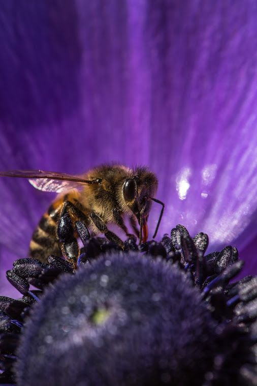 Bee in Purple © Sandrine Berjonneau | Google+