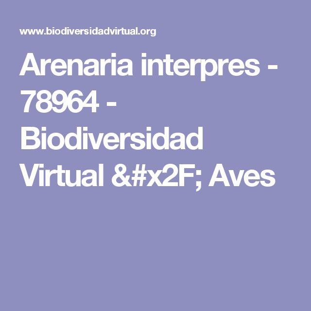 Arenaria interpres - 78964 - Biodiversidad Virtual / Aves